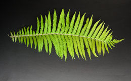 Green fern leaves on a dark background Royalty Free Stock Images