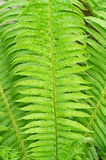Green fern leaves decorative Royalty Free Stock Photo