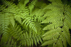 Green fern leaves detail in the forest. Spain Stock Images