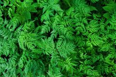 Green fern leaves in the forest beautiful view Stock Photo