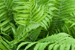 Green fern leaves in forest Stock Photo