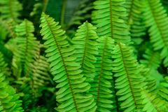 Green fern  leaves. Royalty Free Stock Images