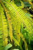 Green, fern leaves in the greenhouse. Exotic leaves, green fern background. Tropical plants stock image