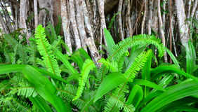 Green fern leaves growing under Banyan tree aerial roots Stock Images