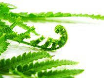 Green fern leaves isolated on white background Stock Images