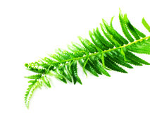 Green fern leaves isolated on white background Stock Image