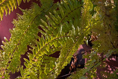 Green fern leaves. Light on green fern leaves Royalty Free Stock Images