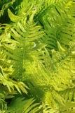 Green fern leaves. Lit bright spring sunshine Stock Photography