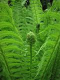 Green fern leaves.  Royalty Free Stock Photo