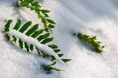 Green fern leaves in snow. Lovely nature background stock photos