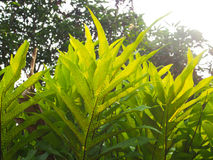 Green fern leaves and spore behind the leaves Royalty Free Stock Images