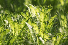 Green fern leaves in spring Stock Image