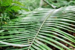 Green fern leaves with stem. Closeup green fern leaves with sharpened view of its stem stock photography