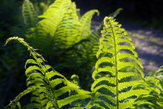Green fern leaves in the sunlight Royalty Free Stock Image