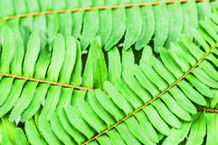 Green fern leaves texture for background use. Royalty Free Stock Image