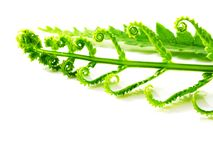 Fresh green fern leaves on white background Stock Photo