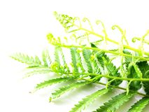 Green fern leaves isolated on white background Royalty Free Stock Photography