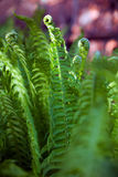 Green fern leaves in yard Royalty Free Stock Image
