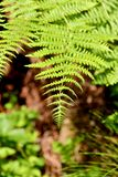 Green fern in the middle of the forest royalty free stock image
