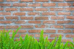 Green fern and moss on brick wall for background royalty free stock image