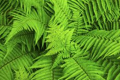 Fern natural background stock image