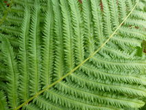Green Fern Plant Detail. Close-up detail of a green fern plant leaves in the garden. Tropical texture and detail Stock Photo