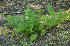 Green fern plant. Bush on forest woods landscape background Stock Photo