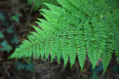 Green fern plant Stock Images