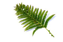 Green fern plant on white background royalty free stock photo