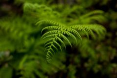 Fern in Portland`s Crystal Springs Rhododendron Garden Royalty Free Stock Images