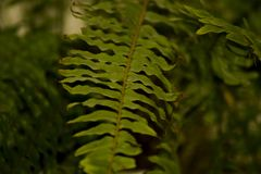 Green fern in a pot, leaf close-up. Background for cards and greetings royalty free stock photo