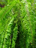 Green fern in the rain. Wet green fern in heavy rain in tropical botanic park Royalty Free Stock Photography