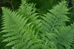 Green fern in the spring forest Royalty Free Stock Photography