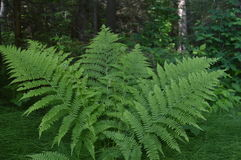 Green fern in the spring forest Royalty Free Stock Image
