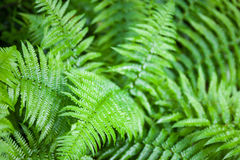 Green fern stems and leaves Stock Images