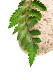 Green Fern and stone Royalty Free Stock Image