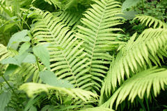 Green fern in the summer forest Royalty Free Stock Photography