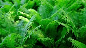 Green fern in tropical forest. Green fern in tropical forest on summer day stock video footage