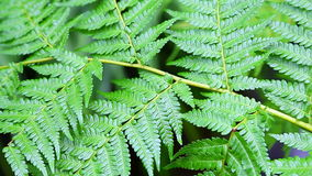 Green fern in tropical garden stock video footage