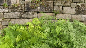 Green Fern by Wall royalty free stock photography