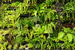 Green fern wall vertical garden Stock Photos