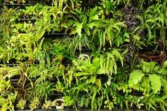 Green fern wall vertical garden Stock Photos