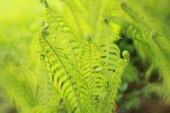 Green fern Royalty Free Stock Photos