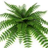 Green fern on white. 3D illustration Stock Photography