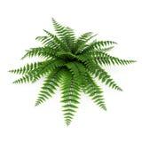 Green fern on white. 3D illustration Royalty Free Stock Photo