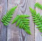 Green fern on wooden background royalty free stock photo
