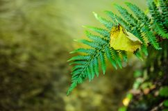Green fern and yellow fallen autumn leaf on blurry background. Green beautiful fern and yellow fallen autumn leaf on blurry background next to a creek and Royalty Free Stock Photos
