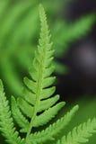 Green fern Royalty Free Stock Image