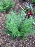 Green fernery cycad garden beds Stock Photo