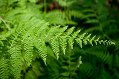Green ferns. Green lush ferns growing in forest in wild Stock Image